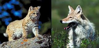 Bobcat and Coyote